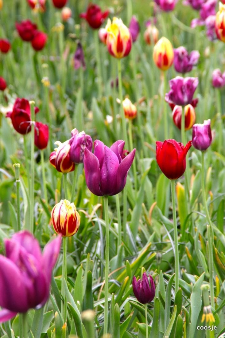 flowerbulbs